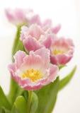 Tulipani guarniti Fotografie Stock Libere da Diritti