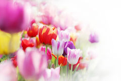 Tulipani, highkey Fotografia Stock Libera da Diritti