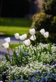 Tulipani in il giardino di primavera fotografie stock libere da diritti