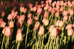Tulipani illuminati dal tramonto Bello punto di vista dei tulipani di colore Fotografia Stock Libera da Diritti