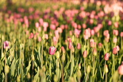 Tulipani illuminati dal tramonto Bello punto di vista dei tulipani di colore Immagine Stock