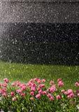 Tulipani innaffiati Immagini Stock