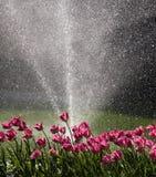 Tulipani innaffiati Fotografia Stock Libera da Diritti
