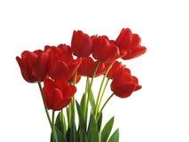 Tulipani, isolati su bianco Immagini Stock
