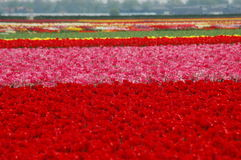 Tulipani in Keukenhof Immagini Stock