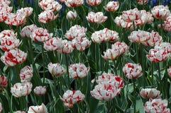 Tulipani in Keukenhof Fotografie Stock Libere da Diritti