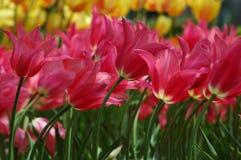 Tulipani in Keukenhof Fotografia Stock