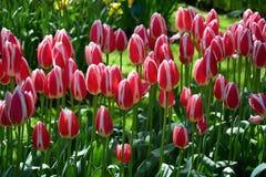 Tulipani in Keukenhof Immagini Stock Libere da Diritti