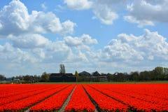Tulipani in Keukenhof Fotografia Stock Libera da Diritti