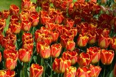 Tulipani in Keukenhof Immagine Stock Libera da Diritti