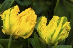 Tulipani Keukenhoff Lisse Holland Netherlands della peonia di verde giallo fotografia stock