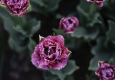 Tulipani lilla di Terry da sopra la macro Fotografie Stock Libere da Diritti