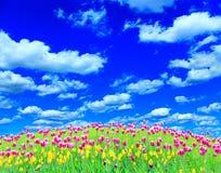 Tulipani lilla sulla collina dal fiore-letto Fotografia Stock