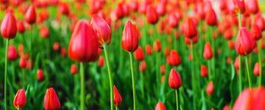 Tulipani luminosi dei fiori in primavera Fioritura della primavera nel parco Festival del fiore fotografia stock