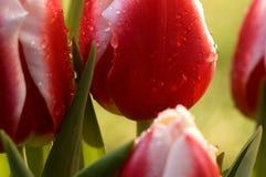 Tulipani a macroistruzione Fotografia Stock