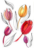 Tulipani magnifici dell'acquerello su un fondo bianco Illustrazione di Stock
