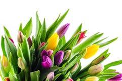 Tulipani misti di colori Immagini Stock