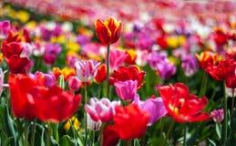 Tulipani multicolori nel campo del fondo confuso della molla fotografia stock libera da diritti