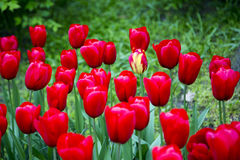 Tulipani nei Paesi Bassi Immagine Stock Libera da Diritti