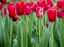 Tulipani nei Paesi Bassi Immagini Stock Libere da Diritti