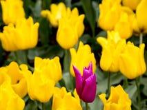 Tulipani nei Paesi Bassi Immagini Stock