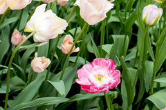 Tulipani nei Paesi Bassi Fotografia Stock