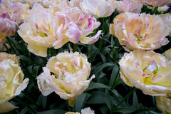 Tulipani nei Paesi Bassi Fotografie Stock