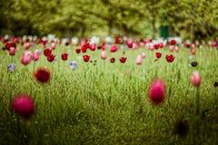 Tulipani nel campo fotografie stock