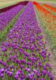 Tulipani nel campo Fotografie Stock Libere da Diritti