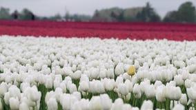 Tulipani nel campo 4K UHD video d archivio