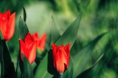Tulipani nel campo immagini stock libere da diritti