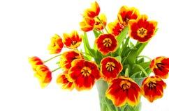 Tulipani nel colore rosso e nel colore giallo Immagine Stock