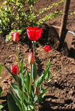 Tulipani nel giardino della sorgente Fotografia Stock