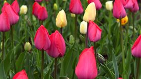 Tulipani nel giorno piovoso