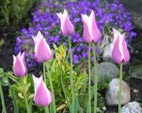 Tulipani nel letto di fiore insieme ad altri fiori adorabili immagine stock