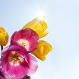 Tulipani nel sole di primavera fotografia stock libera da diritti