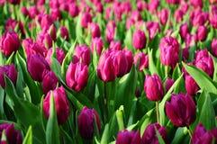 Tulipani nell'ambito di sole Immagine Stock Libera da Diritti