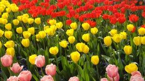 Tulipani nella città di primavera della Cina, Kunming, il Yunnan fotografia stock