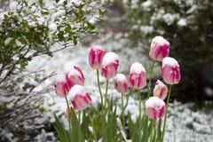 Tulipani nella neve Fotografia Stock Libera da Diritti