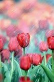 Tulipani nella pioggia Fotografie Stock Libere da Diritti