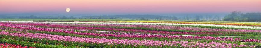 Tulipani nella regione carpatica Fotografia Stock