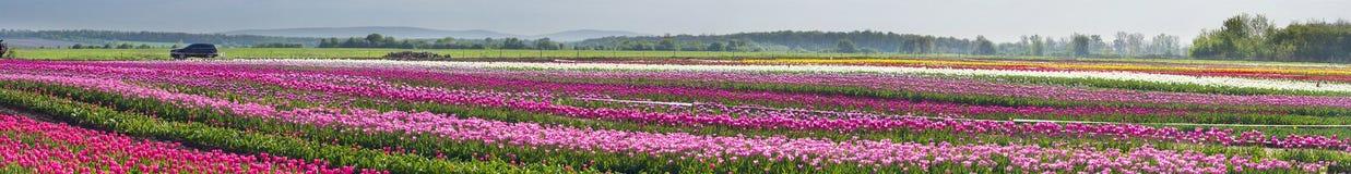 Tulipani nella regione carpatica Fotografie Stock Libere da Diritti