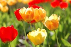 Tulipani nella sorgente Immagine Stock
