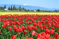 Tulipani nella valle di Skagit Immagini Stock Libere da Diritti