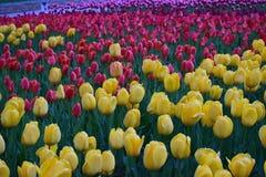 Tulipani nello sfondo naturale fotografia stock