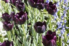 Tulipani neri Immagini Stock