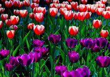 Tulipani nobili Fotografia Stock