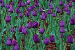 Tulipani nobili ah Immagine Stock Libera da Diritti