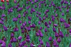 Tulipani nobili ah Fotografia Stock