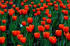Tulipani nobili dow jones Fotografie Stock Libere da Diritti